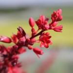 Фото 7: Цветок красной юкки