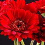 Фото 24: Красная гербера