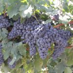 Фото 52: Виноград сорта Рексави