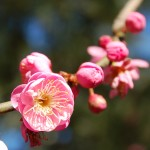 Розовые цветы абрикосового дерева