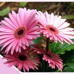 Фото 25: Розовая гербера