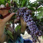 Фото 53: Сбор винограда