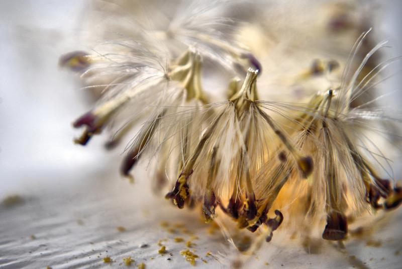 Семена герберы