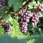 Фото 54: Виноград сорта Шасла