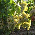 Фото 55: Виноград сорта Солярис