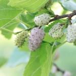 Созревание плодов белой шелковицы