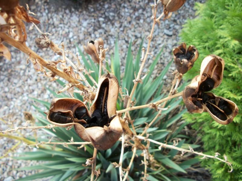 Созревание семян юкки