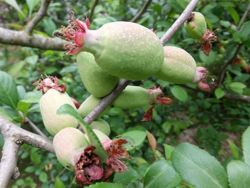 Рост плодов японской айвы