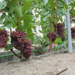 Фото 58: Виноград сорта Новочеркасская роза