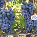 Фото 57: Виноград Агат Донской