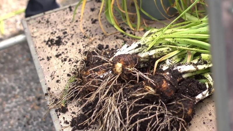 Выкапывание луковиц нарциссов после увядания цветков