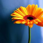 Фото 29: Желтая гербера