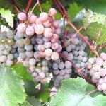 Фото 61: Виноград сорта Жемчуг Розовый