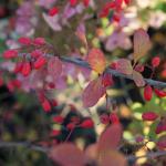 Жимолость красная осенью
