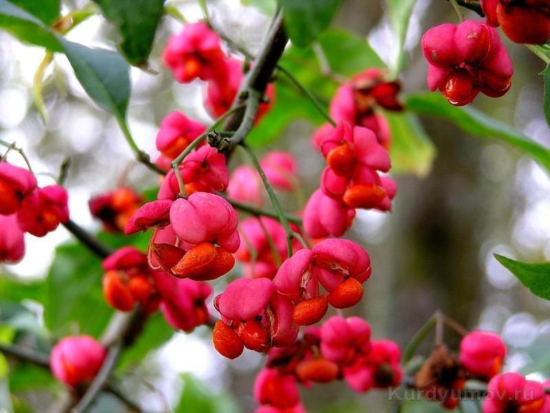 Бересклет красный растет на ветках