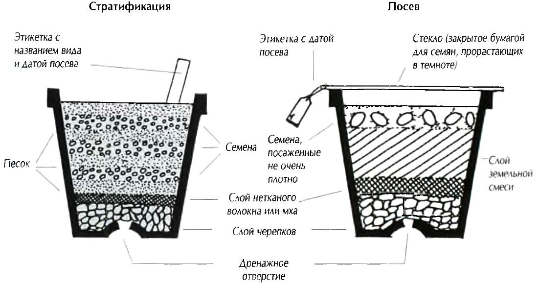 Выращивание семян бонсай 66