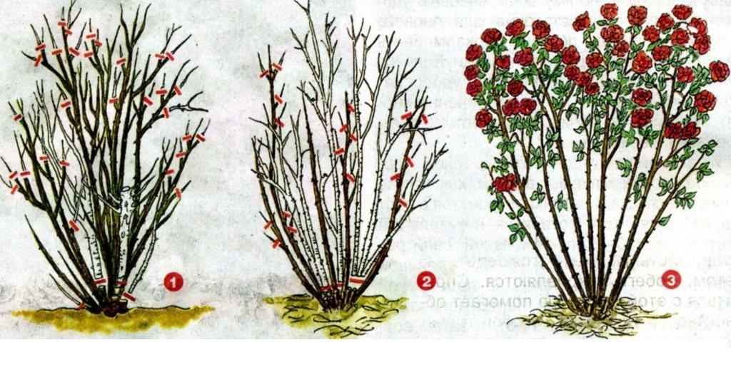 Обрезка розы
