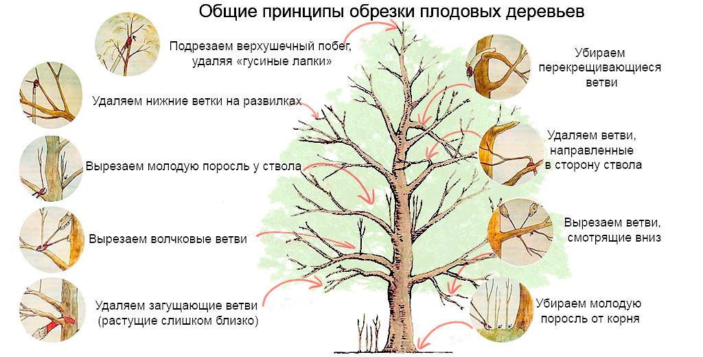 Как сделать яблоню дерево