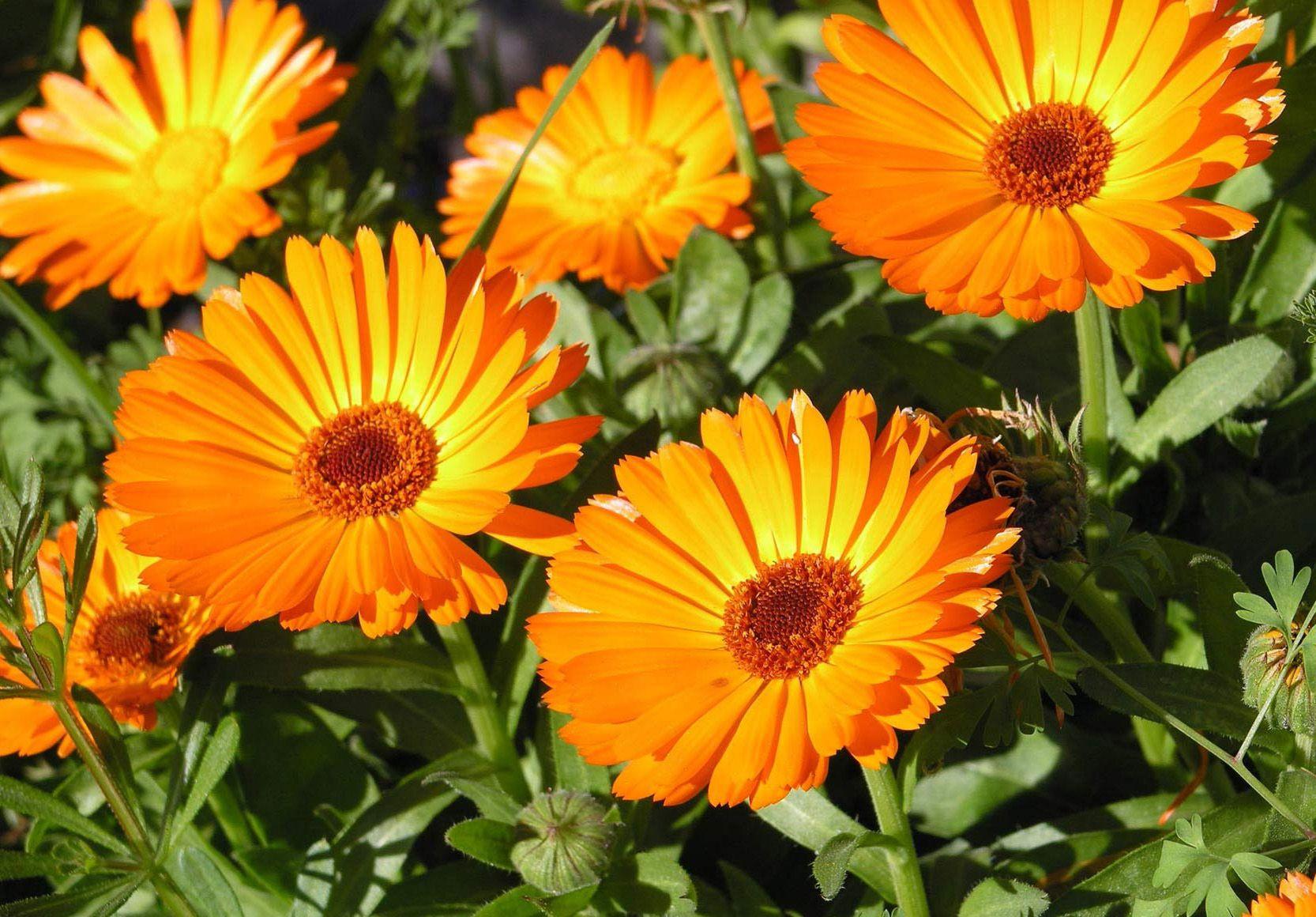 Календула (цветки): лечебные свойства, описание, польза в медицине 857