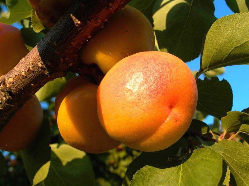 Районированные сорта абрикоса