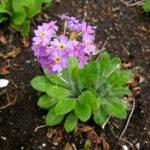 Фото 98: Рrimula frondosa