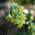 Фото 91: Примула сиккимская цветение