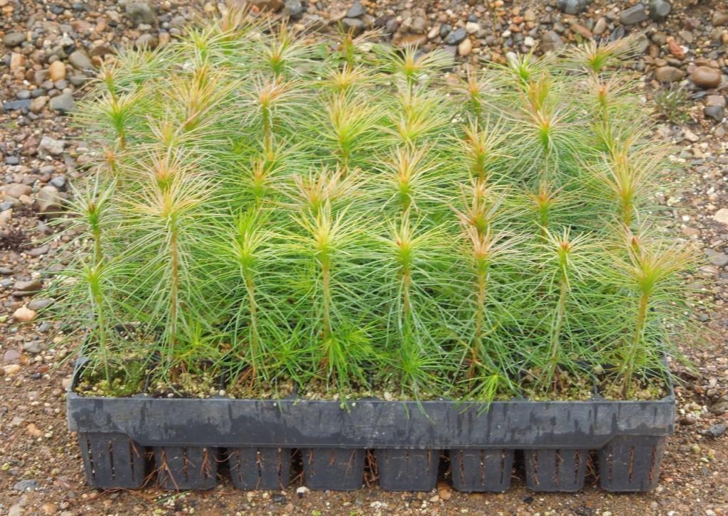Выращивание саженцев с закрытой корневой системой 30