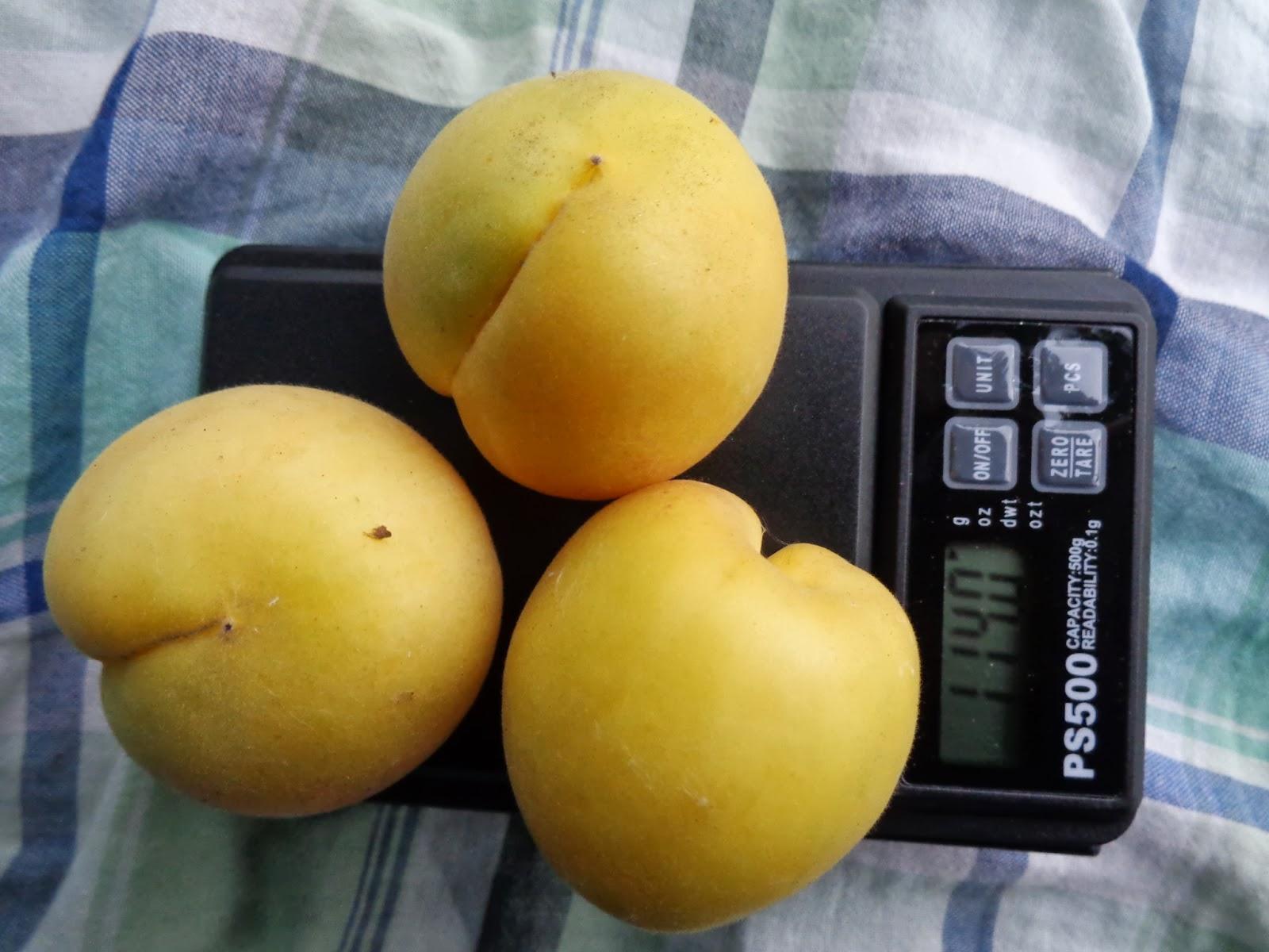Можно ли вырастить абрикос из косточки, Сорта абрикоса.