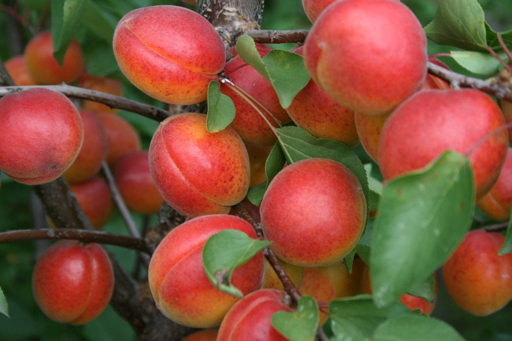 Сочный абрикос