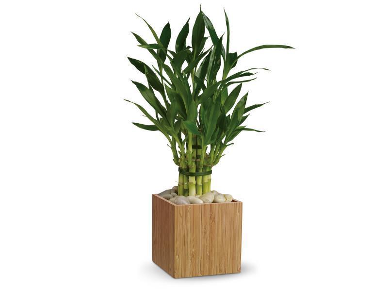Уход за бамбуком