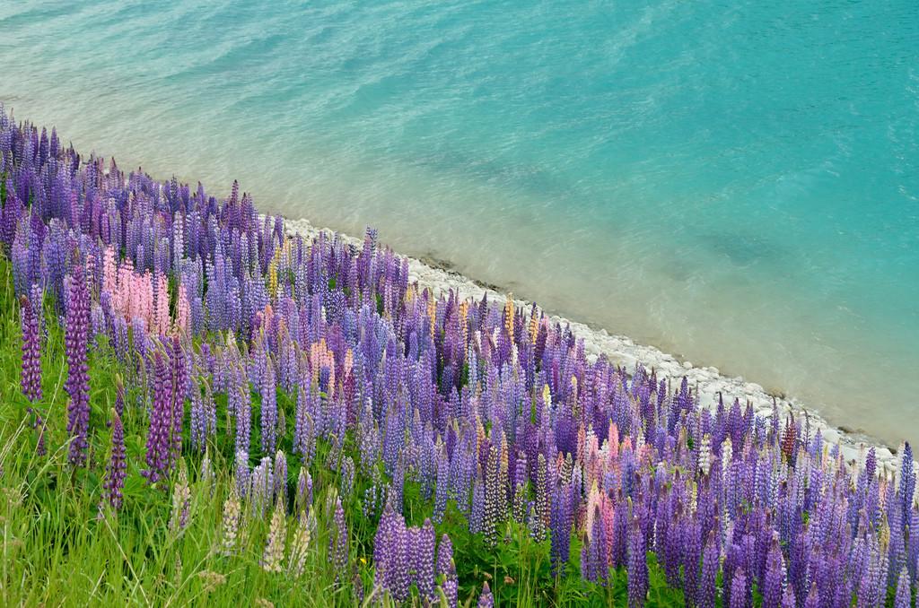 Цветение люпинов