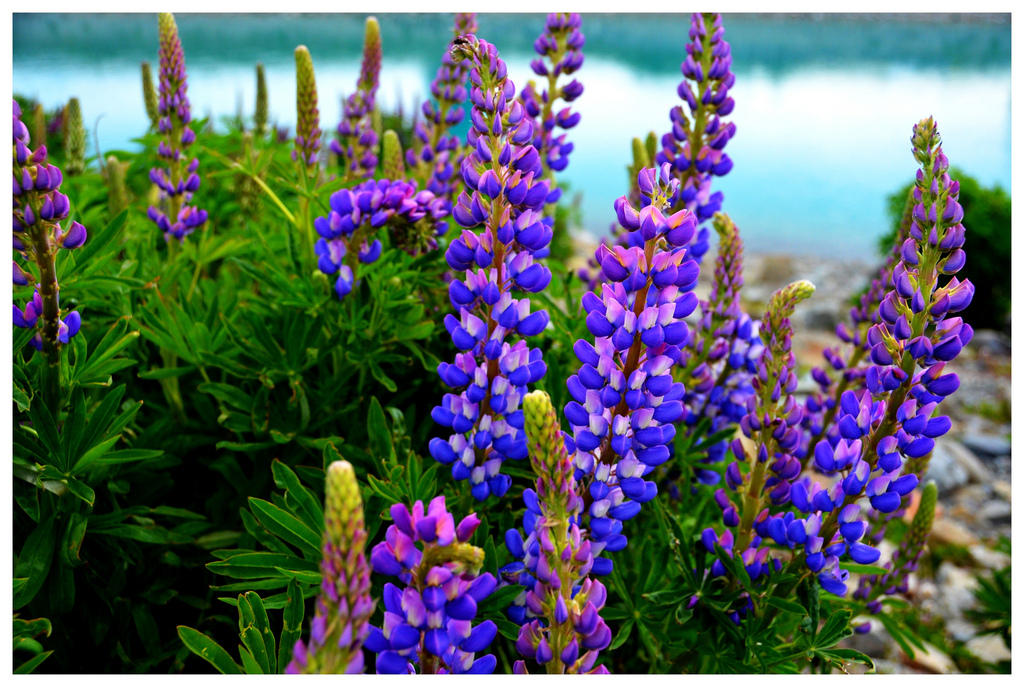 Цветы люпины и уход