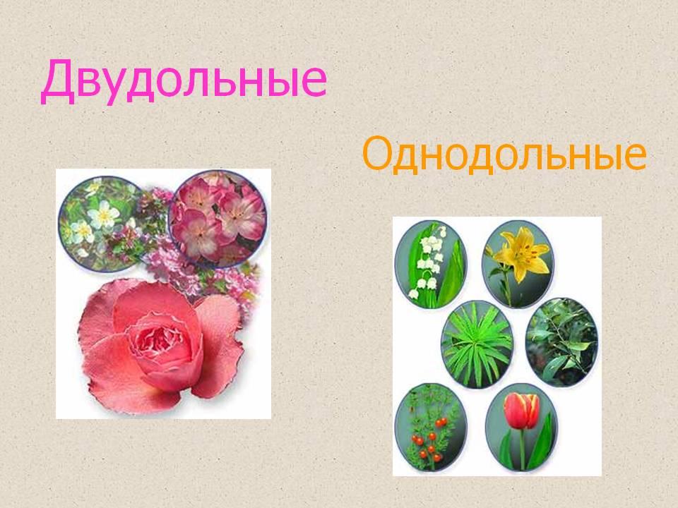 Двудольные растения пример