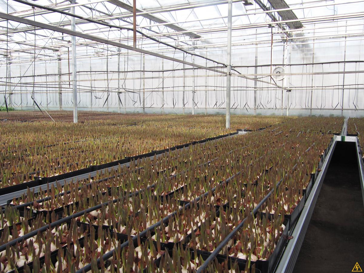 Выразивание тюльпанов в оранжереях