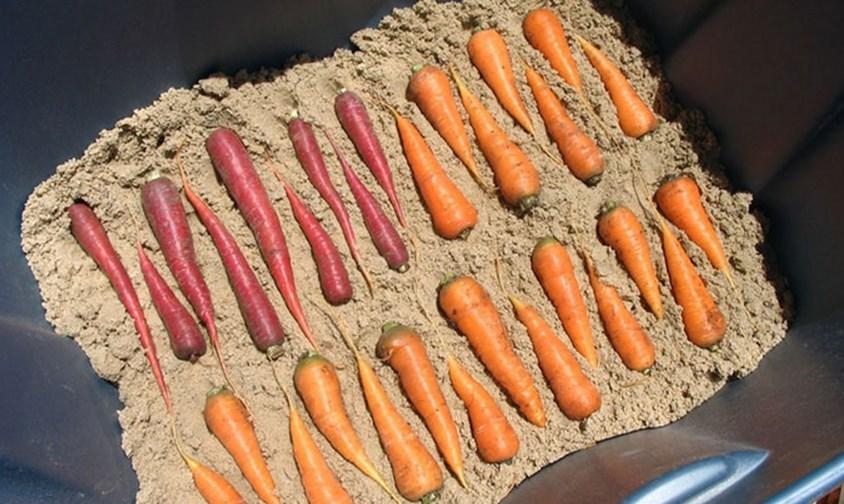 Песок и морковь
