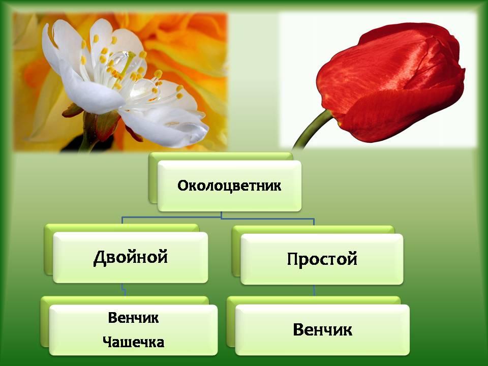 Фото 7: Однодольные растения на фото