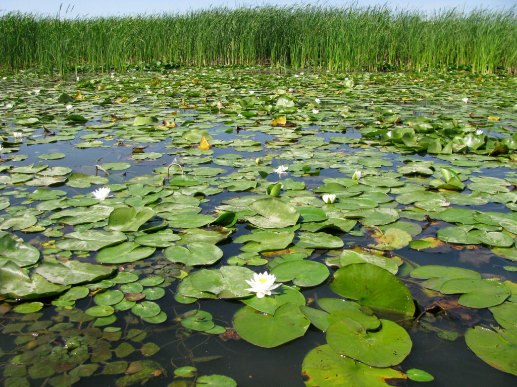 Кувшинка обычно обитает в пруду