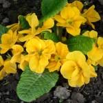 Фото 25: Желтая примула