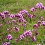 Дущица фиолетовая