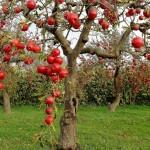 Фото 26: Плодовый сад
