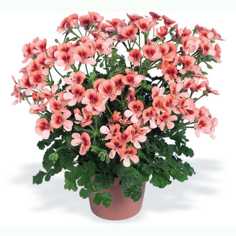 Фото цветок пуансетия 16