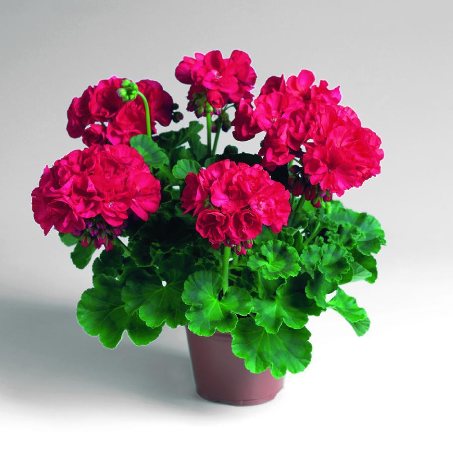 Цветок пуансетия. Как ухаживать. Начинающему цветоводу