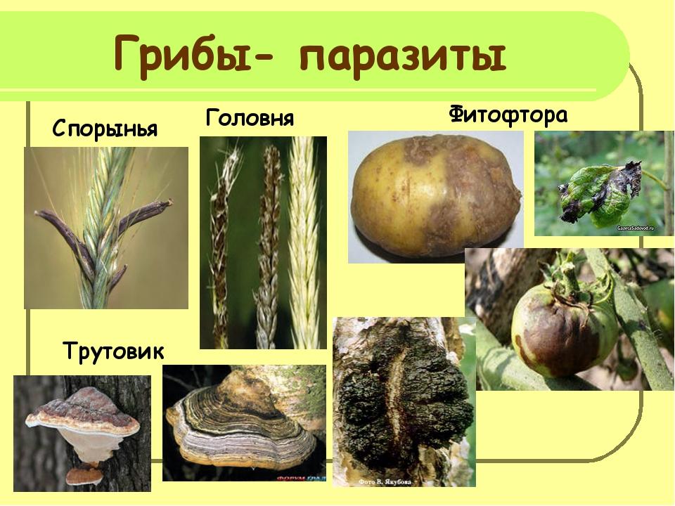 Доклад грибы паразиты человека 2813