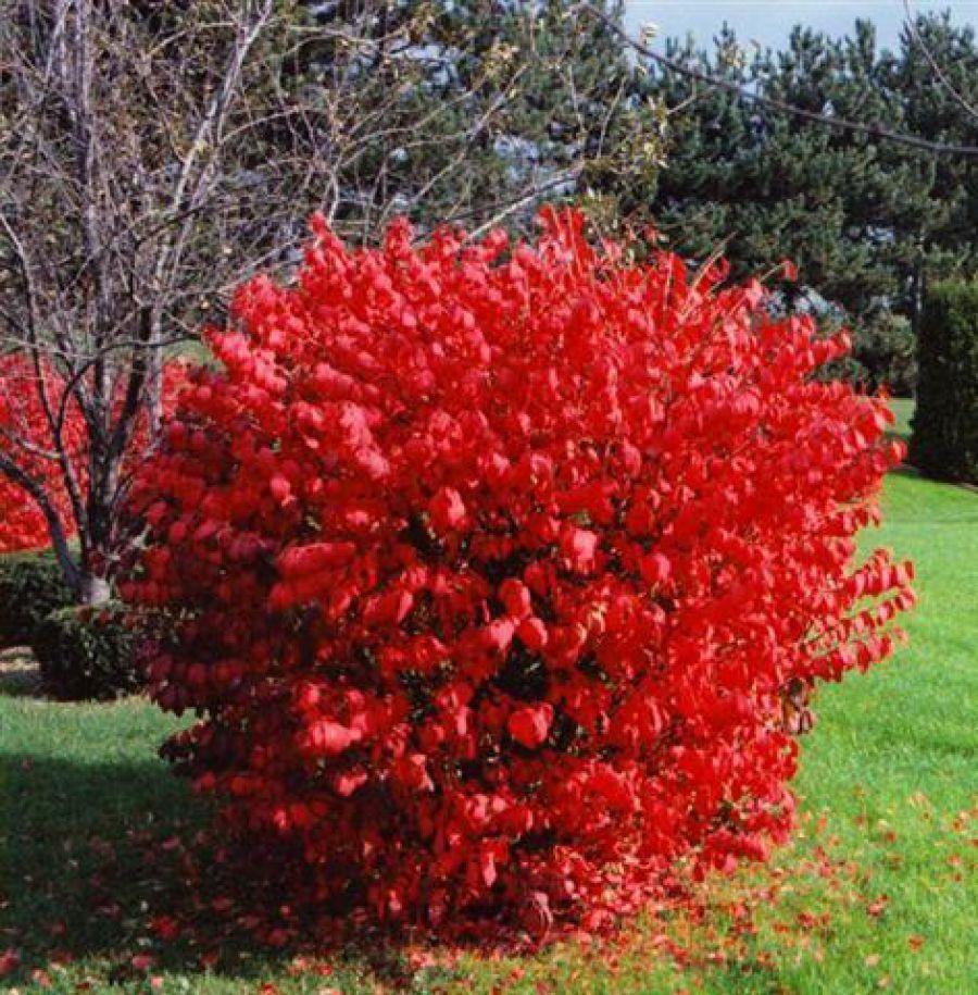 Бресклет японский в саду цветет