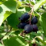 Фото 5: Ирга плод