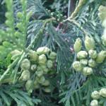 Кипарисы плод