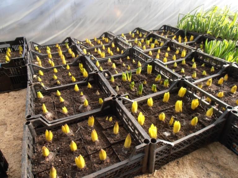 Выращивание тюльпанов для продажи 42