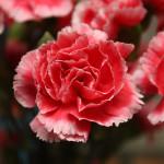 Фото 8: Розовая гвоздика