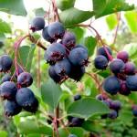 Фото 8: Сытый фрукт
