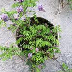 Фото 113: Выращивание вистерии в горшке